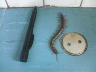 Big-ass Centipede